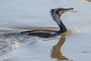 Fast Forward.......... (klythawk) Tags: cormorant phalacrocoraxcarbo wildlife nature winter fishermansnightmare reflection sunlight droplets blue grey orange green brown black white nikon d500 300mmpf attenboroughnaturereserve wildlifetrust nottingham klythawk