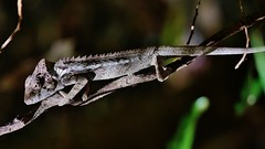 Warty a/k/a Spiny Chameleon (Furcifer verrucosus) (Susan Roehl) Tags: madagascar2017 islandofmadagascar offtheeastcoastofafrica berentyreserve wartyakaspinychameleon furciferverrucosus southerncoast chameleon animal reptile endemic westpartofisland ariddisturbedland nearthesea terrestrial feedsoninsects lays30to60eggsayear 6motoayear tomaturecoldblooded canchangecolors prehensiletail diurnal solitary oftenaggresive bulgingeyes moveindependently longtongues opportunistic sueroehl photographictours naturalexposures panasonic lumixdmcgh4 100400mmlens handheld cropped macro tree forest coth5 ngc