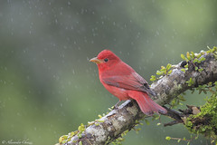 Summer tanager (a.chiezzi) Tags: costarica tanager bird birds nikon