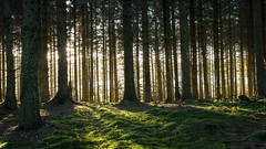 Morning light in the forest (1 of 1) (davebennett65) Tags: sunrise forest woodland trees light northwales alwen nrw sun rays