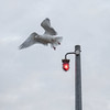 Watch The Birdy (Number Johnny 5) Tags: square tamron d750 nikon gull decisive bird moment flight red 2470mm light