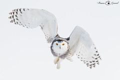 Harfang des Neiges 15 Janvier 2018 Lac St-Jean (Roxane Gravel) Tags: vol chasse hunt nature majestic majestueux oiseau bird olw snow neiges harfang bleu