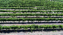 Margaret River vines_0194