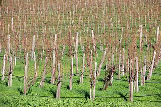 Bare Vines