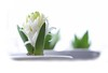 The First Hyacinth (haberlea) Tags: home athome hyacinths hyacinth white onwhite flower plant nature bulb green