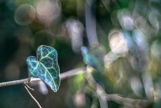 Ivy and light