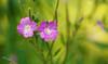 RUS64143(St.#7. Summer Colours) (rusTsky) Tags: winner flowers green purple blossom summer sunny beauty bokeh canon eos5d ef100mm fantasticflower