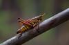 Lubber Grasshopper (ashockenberry) Tags: grasshopper romalea microptera florida wildlife wildlifephotography naturephotography nature insect