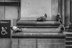 The Pigeons Are Revolting (Leanne Boulton) Tags: monochrome urban street streetphotography urbanlandscape streetlife bird birds pigeon pigeons feral wildlife nature animal animals group flock architecture sandstone sign tone texture detail depth naturallight outdoor light shade city scene life living canon canon5d 5dmkiii black white blackwhite bw mono blackandwhite glasgow scotland uk