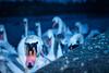 Hungry swans (Peter Heitzinger) Tags: schwäne lambach austria blitz traun