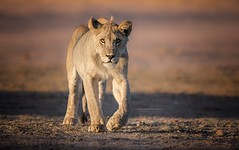 Young Blood (therealthings.com) Tags: lion kgalagadi ktp desert cat bigcat bigcats africa canon 5div canonnl kalahari animal grass mammal leo southafrica canonsouthafrica canon600f4isusmii