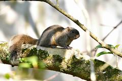 Red-bellied Squirrel 赤腹松鼠 (Jeffreycfy) Tags: mammals callosciuruserythraeus redbelliedsquirrel 赤腹松鼠 nikon d500 nikkor200500mmf56e tc14eiii