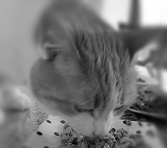 yummy in my tummy (xzna) Tags: happycaturday gingercat cat eating freinds