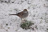 2018-02-24 White-throated Sparrow (02) (1024x680) (-jon) Tags: anacortes skagitcounty skagit washingtonstate washington salishsea fidalgoisland sanjuanislands pugetsound pnw pacificnorthwest bird sparrow whitethroatedsparrow zonotrichiaalbicollis snow winter a266122photographyproduction
