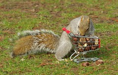 Squirrel with shopping cart (11) (Simon Dell Photography) Tags: winter spring grey animal nature together wildlife sheffield botanical gardens simon dell photography 2018 feb 24 with trolley shopping cart cute funny awesome mini micro full nuts