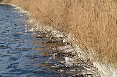 ijsriet 27.2.18 (4) (rspeur) Tags: almere thenetherlands winter