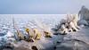 When winter meets spring (Ralph Rozema) Tags: winter spring flowers ice cold holanda netherlands markermeer ijsselmeer marken contrast