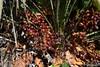 Chamaerops humilis (esta_ahi) Tags: garraf chamaerops humilis chamaeropshumilis palmito margalló arecaceae frutos olivella barcelona spain españa испания