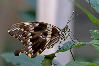 Papilio constantinus - Constantine´s Swallowtail