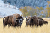 Whats that Smell? (Amy Hudechek Photography) Tags: bison bull grand teton national park amyhudechek autumn fall rut nature wildlife flehmenresponse lip curling