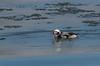 Harelde Kakawi/Long-tailed duck-10324 (michel paquin2011) Tags: harelde kakawi canard plongeur côte sainte catherine