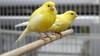 कैनरी (asithmohan29) Tags: httpsyoutubezk0c10vfagm httpdailyx6d5nqo कैनरी पीतचटकी कैसेक्योंऔरकहाँ पालतूजानवर देखभाल animals bird birdbreeds birdcare birds bond bondwithbird budgie canaries canary canarycare cardellino distelfink docil domesticado domesticar europeangoldfinch finch finches goldfinch how howtoc howtotame howtotamebird howtotamegoldfinch howtocareforyourcanary howto instructional jilguero jilguerodocil jilgueromanso manso petbirds pets petsandanimals stieglitz tame tamegoldfinch tamedbirds taming tips tutorial videojug