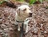 Gracie on the trail (walneylad) Tags: gracie dog canine pet puppy cute lab labrador labradorretriever january winter morning westlynn