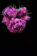 paeony (borealnz) Tags: paeony peony flower flowers flora dark red spring summer
