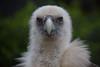 Griffon vulture @ Artis 02-04-2017 (Maxime de Boer) Tags: griffon vulture vale gier bird vogel natura artis magistra zoo amsterdam animals dieren dierentuin gods creation schepping creator schepper genesis