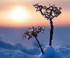 iced weeds (marianna_a.) Tags: p1800839 ice freezing rain weed plant flora sunset snow macro mariannaarmata