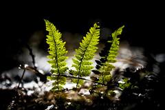 1-2-3 (matthiasstiefel) Tags: germany bavaria fern leaves