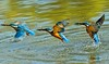 A kingfisher - continuous shooting II (kazs2307) Tags: kingfisher birds water nature fishing shooting カワセミ 翡翠 鳥 水 狩り 連写 ネイチャー