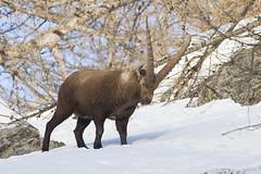STAMBECCO (ric.artur) Tags: piemonte stambecchi animali nikon naturalmente natura montagna neve