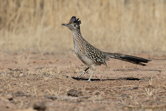 Greater Roadrunner (Matt Shellenberg) Tags: greaterroadrunner greater roadrunner arizona desert matt shellenberg chaparral cock