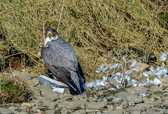 JWL3966  Peregrine Falcon... (jefflack Wildlife&Nature) Tags: peregrinefalcon peregrine birds avian animal animals wildlife wildbirds wetlands birdsofprey raptors hawks countryside coastalbirds crags cliffs hunters prey ogmore nature