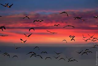 091025-CA-37 - Gray geese - Flug der Graugänse