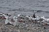Whale bones (Travels with Kathleen) Tags: antarctica bones whale vertebrae beach rocky penguins gentoo water waves cuvervilleisland