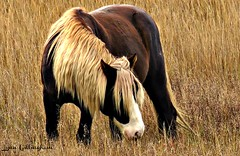 190 Riptide  Chincoteague Stallion (baypeep) Tags: stallion horse chincoteague pony