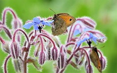 Browns on Blues. (pstone646) Tags: butterflies nature insects brown blue fauna flora wildlife animals closeup bokeh flowers green kent