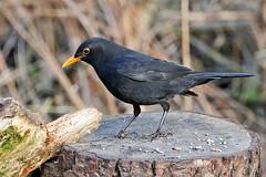 Blackbird (eric robb niven) Tags: springwatch dundee blackbird nature scotland