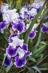 Iris (Dnalaez) Tags: iris flower purple plant beautiful