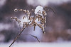 That's some cold winter flora (Nicholas Erwin) Tags: nature snow winter cold flora plant naturephotography bokeh depthoffield dof organic nikon d610 nikkor 70200f4vr waterbury vermont vt unitedstatesofamerica usa fav10 fav25