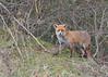 Red Fox (Vulpes vulpes) (KHR Images) Tags: redfox red fox vulpesvulpes wild mammal fendraytonlakes rspb cambridgeshire wildlife nature nikon d500 kevinrobson khrimages