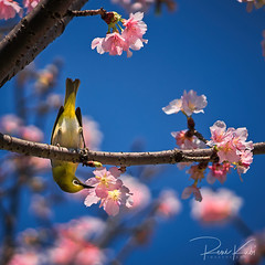 Beautiful Cherry Blossoms and a Japanese White Eye Bird in Taipei (Re_Ne) Tags: sony macro spring flower nature taiwan taipei bird blossoms cherry