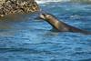 sea lion (ikarusmedia) Tags: sea lion cortes zoom closeup water tension whiskers mammal ear rock ripple gulf baja california sur loreto national park shore bay mexico animal coronado island
