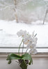 An Orchid in the Winter (elzauer) Tags: leica leicaq blizzard blue coldtemperature decoration environment environmentalconservation frozen gardencenter glassmaterial greenhouse ice indoors mothorchid ontariocanada photography plantnursery sky snow socialissues whitecolor window winter laufen bayern germany de