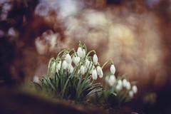 one.two.spring (_andrea-) Tags: sonya7m2 carlzeiss outdoor objektiv mount bokeh bokehshots bokehjunkie bokehs beautifulshot love snowdrops schneeglöckchen galanthus nivalis andrea images
