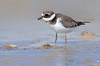 Borrelho grande de coleira - Ringed plover - Charadrius hiaticula (Yako36) Tags: portugal óbidos ave bird birdwatching nature natureza nikonafs300f4 tc14e nikond7000