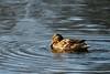 sized_HP20180113-150930-2 (Hetwie) Tags: duck brouwhuis eend helmond noordbrabant nederland nl