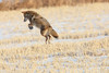 Mousing (Peter Stahl Photography) Tags: coyote hunting voles mice winter snow jumping